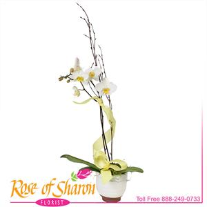 Image of 2587 Chessa Orchid Plant from Rose of Sharon Florist