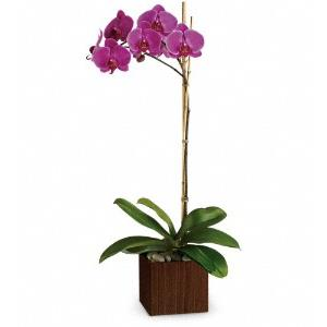 Orchid Plants from Rose of Sharon Florist