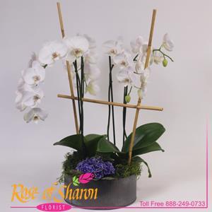 Zen Phalaenopsis