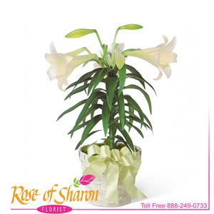 Image of 2350 Easter Lily Plant from Rose of Sharon Florist