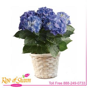 Blooming Plant from Rose of Sharon Florist