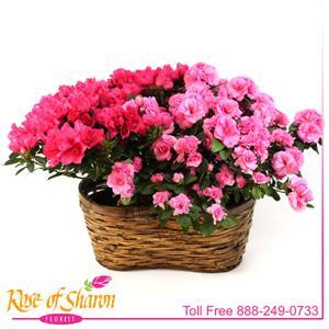 Double Pink Azalea Basket