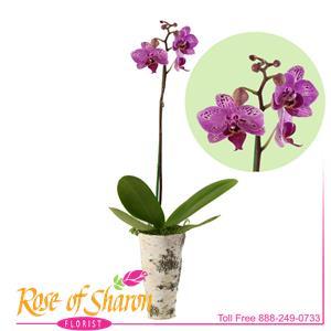Phalaenopsis Orchid - Small