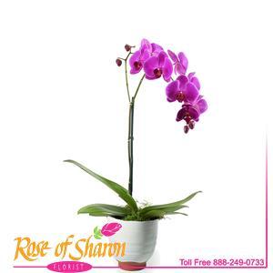 Phalaenopsiss Orchid - Lg Spike