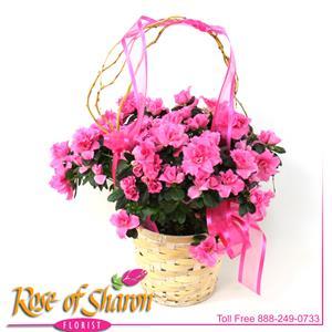 Azalea in Light Basket