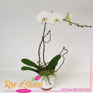 Sympathy Plants from Rose of Sharon Florist