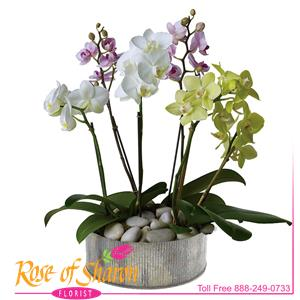 Orchid Plants and Succulents from Rose of Sharon Florist